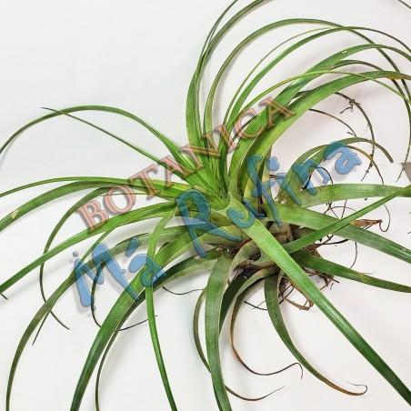 Planta Curujey - Curujey Plant