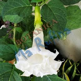 Planta Campana Blanca -...