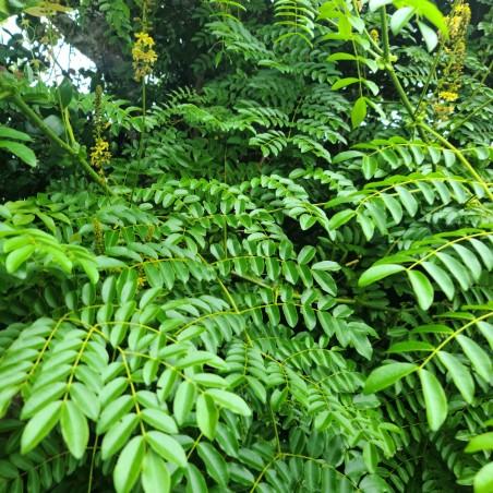 Hierba Quita Maldicion - Fresh Quita Maldicion Plant