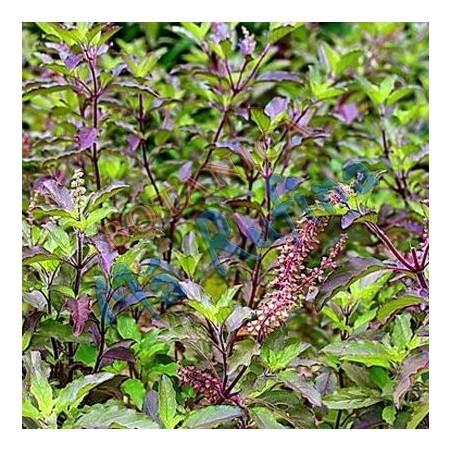 Hierba Albahaca Morada - Fresh Purple Basil Plant