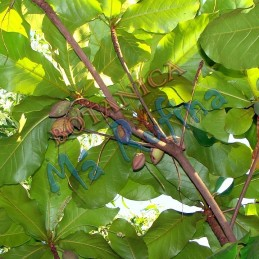 Planta Almendra -  Fresh...