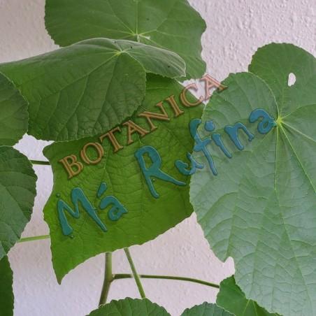 Planta Boton De Oro - Fresh Boton de Oro Plant