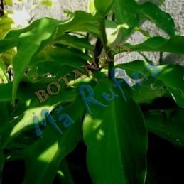 Planta Caña Mexicana -...
