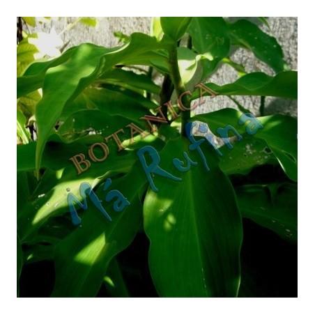Planta Caña Mexicana - Fresh Caña Mexicana Plant