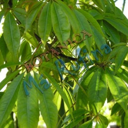 Planta Ceiba - Fresh Ceiba...