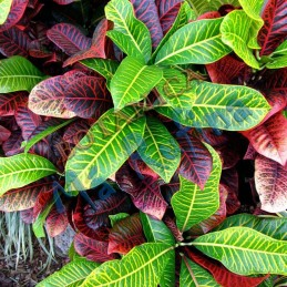 Planta Croto - Fresh Croto...