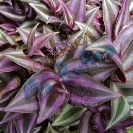 Planta Cucaracha - Fresh...