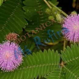 Planta Dormidera - Fresh...