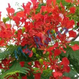 Planta Flamboyan - Fresh...