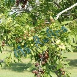 Planta Jaboncillo - Fresh...