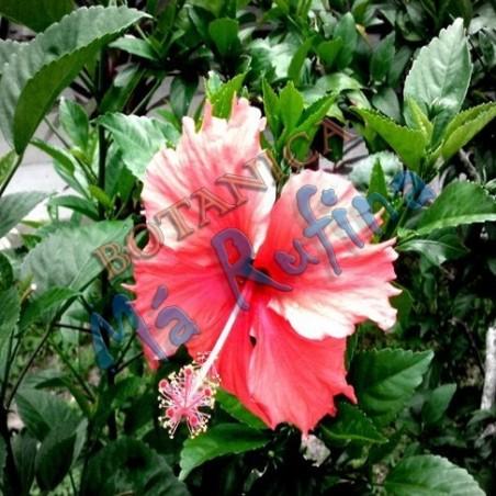 Planta Mar Pacifico Rojo - Fresh Marpacifico Rojo Plant