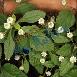 Planta Orozun - Fresh...