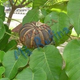 Planta Salvadera - Fresh...