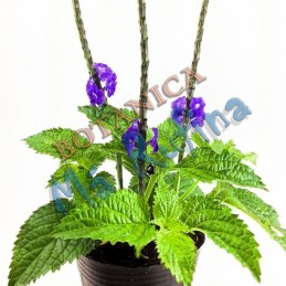 Planta Verbena - Fresh...