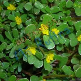 Planta Verdolaga - Fresh...