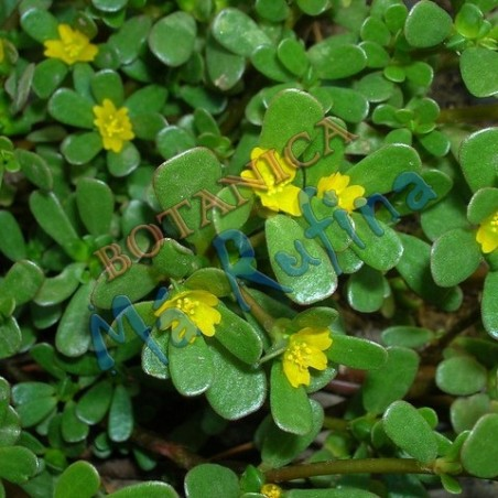 Planta Verdolaga - Fresh Verdolaga Plant