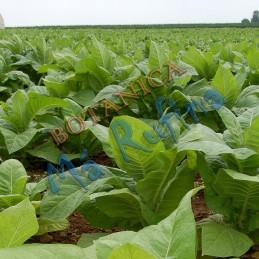 Planta Tabaco - Fresh...