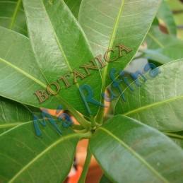 Hojas de Mango - Mango Leaves