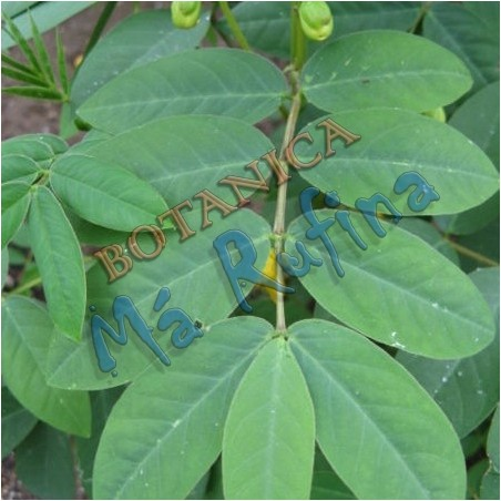 Hierba Hedionda - Fresh Hedionda Herbs - Guanina