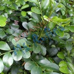 Planta Muralla - Fresh...