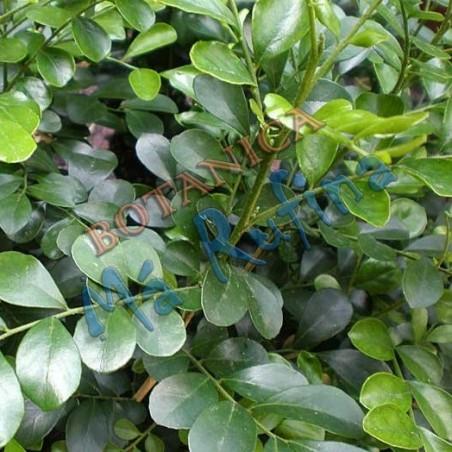 Planta Muralla - Fresh Muralla Plant