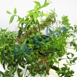 Planta Tilo - Fresh Tilo Herb
