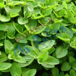 Planta Mejorana - Fresh...